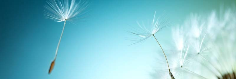Dandelion seeds against a blue sky