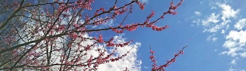 Pink Redbud branches in bloom against a blue sky
