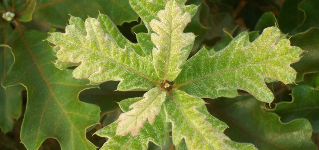 Oak Leaf close-up