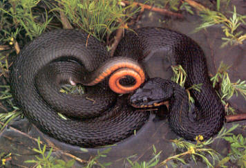 Copperbelly Water Snake (black on top, orange on the bottom)