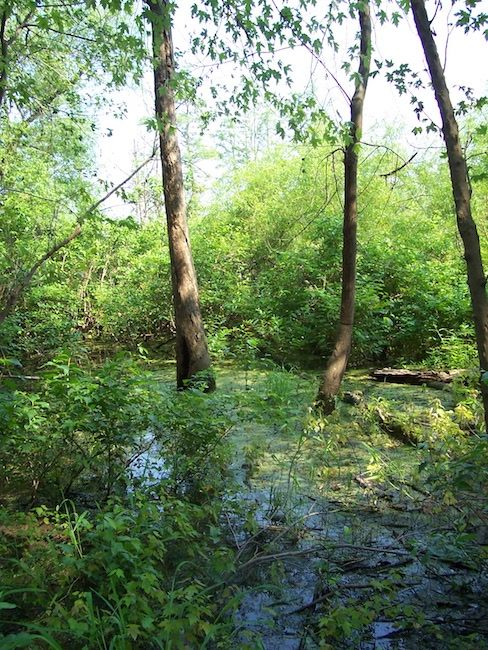 forested wetland