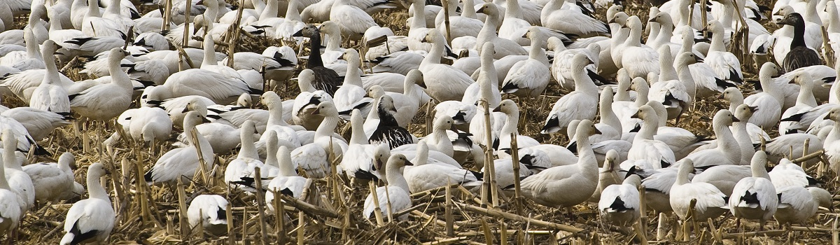 Snow geese congregating on their migration northward in corn stubble located on private land adjacent to the Boatwright Wildlife