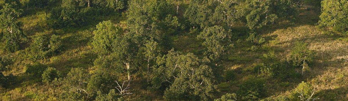 Aerial shot of the savanna at Griffith Woods showing the widely spaced bur oak, blue ash, and hickory trees.