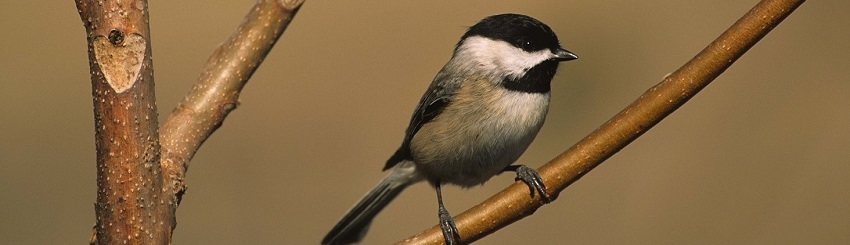 Carolina Chickadees are common residents seen perching on young trees in the Hawthorne Crossing Conservation Area.