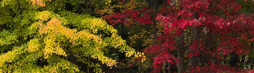 Red maples turning color along with red cedar in the understory growing at the edge of the Jefferson Memorial Forest.