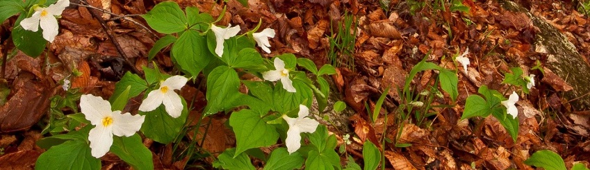 Large flowered white trillium in bloom at Tygart State Forest.