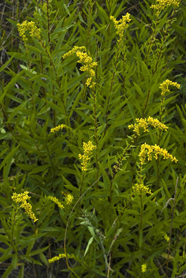 Short's goldenrod ~ photo by Thomas G. Barnes